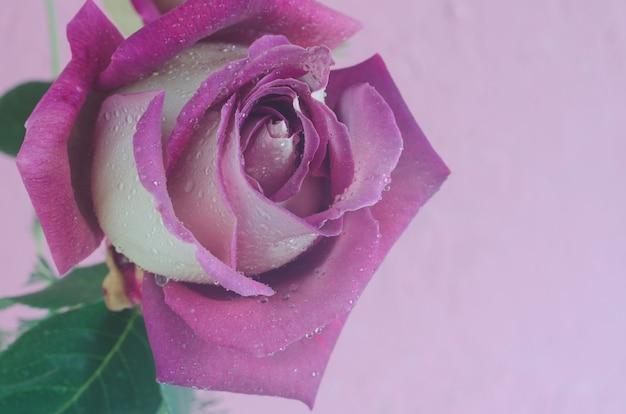 Violet steeg op roze muur met druppels water.