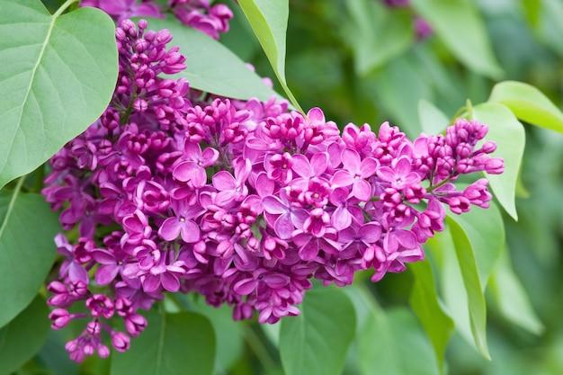 Violette bloem van lila boom in voorjaar park (close-up)