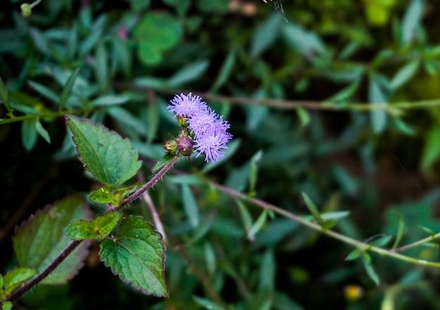 Violette bloem van touch me niet planten