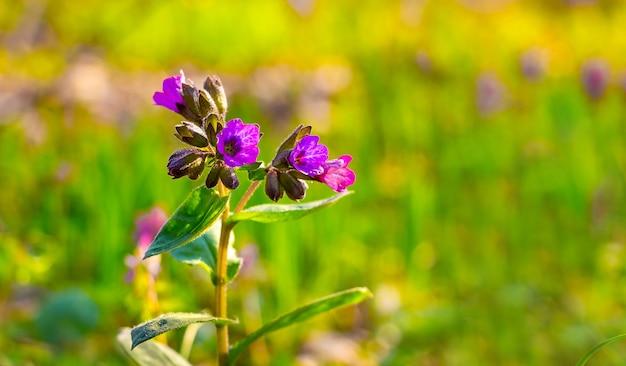 Violette bloemen van longkruid in het bos bij zonnig weer op een wazig.