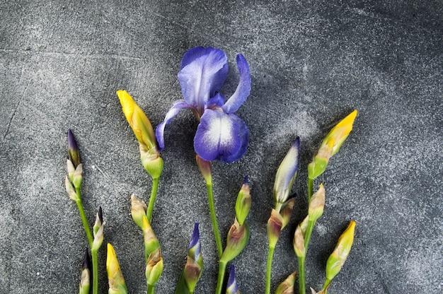 Violette en gele irissen op grijs.