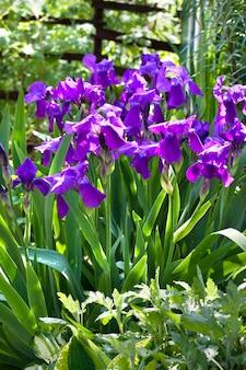 Violette irisbloemen op bloembed