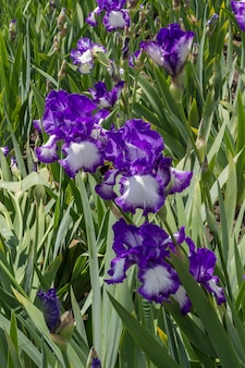 Violette irissen close-up, lentebloemen in de wei. natuurlijke achtergrond