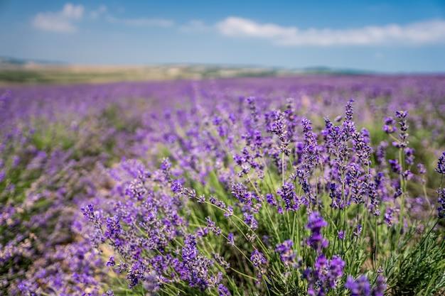Violette lavendelbloemen in het grote gebied op zonnige dag