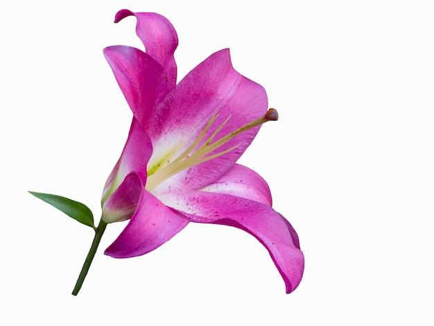 Violette lelie die op witte achtergrond wordt geïsoleerd. mooi stilleven. bloem in de vorm van een ster. lente tijd. plat lag, bovenaanzicht.