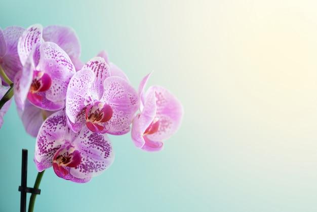 Violette orchidee op blauwe achtergrond