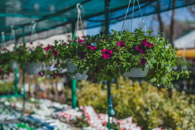 Violette petuniabloemen die in een pot in de serre hangen.