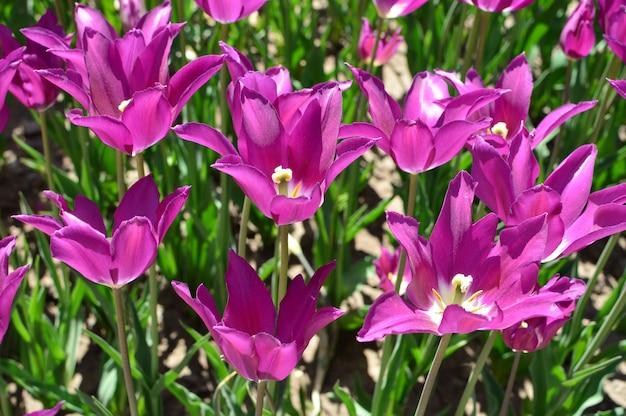 Violette tulpen die in de tuin worden geplant