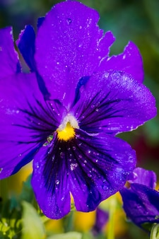 Violette viooltjebloem