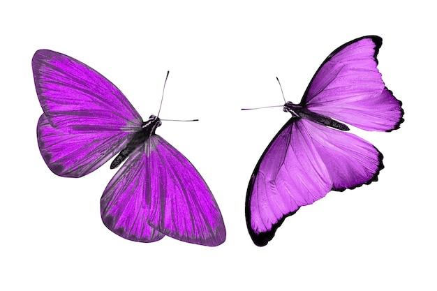 Violette vlinder. natuurlijk insect. geïsoleerd op witte achtergrond