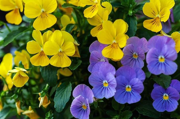 Viooltje bloemen close-up