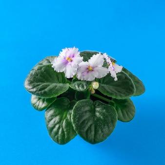 Viooltje met bloeiende bloemen op een blauwe achtergrond. kleur achtergrond.