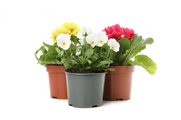 Viooltjes en sleutelbloemen in bloempotten die op wit worden geïsoleerd