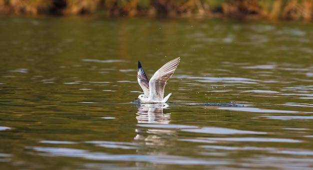 Vis! de meeuw op het water. naivasha-meer, kenia