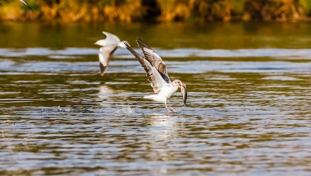 Vis! de strijd van meeuwen. naivasha-meer, kenia. afrika