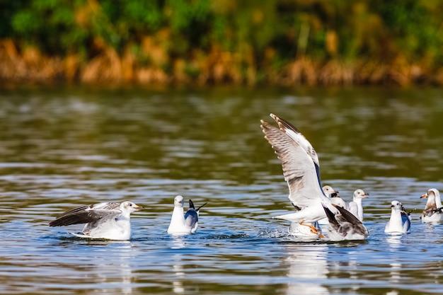 Vis! de strijd van meeuwen. naivasha-meer, kenia