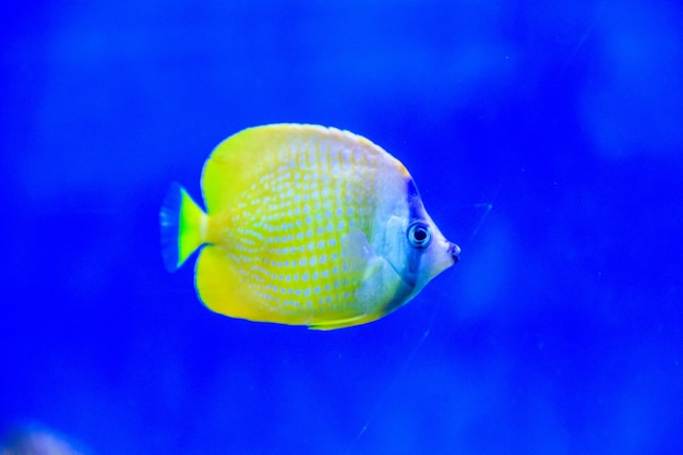 Vis zwemt in het aquarium van de dierentuin