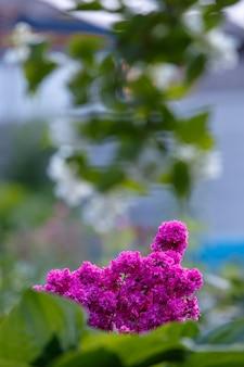 Viscaria vulgaris bloeit in de tuin buiten