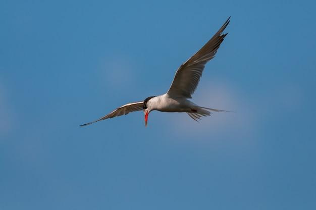 Visdief, sterna hirundo, enkele vogel tijdens de vlucht.