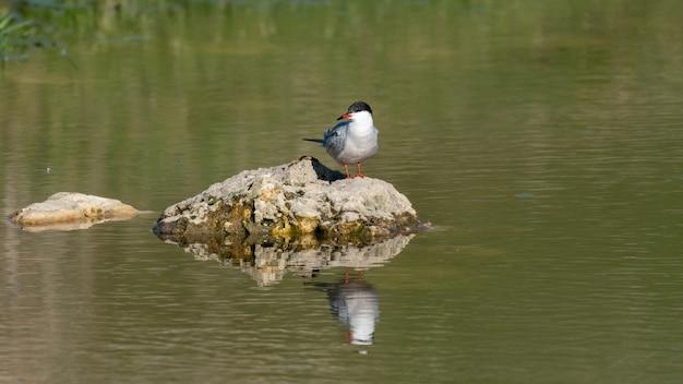 Visdief sterna hirundo, zittend op een rots in het meer.