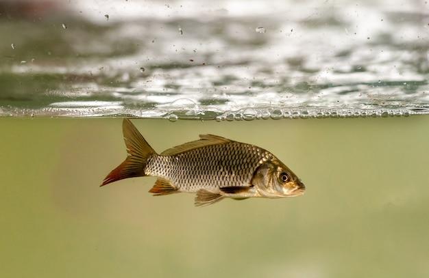 Vissen in aquarium voor het kweken van vissen. karpers, tambaquis en tilapia's. visteelt.