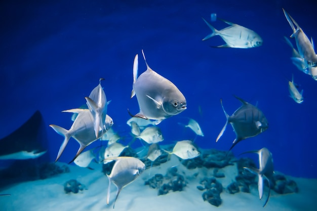 Vissen palometa trachinotus goodei zwemmen in blauw water