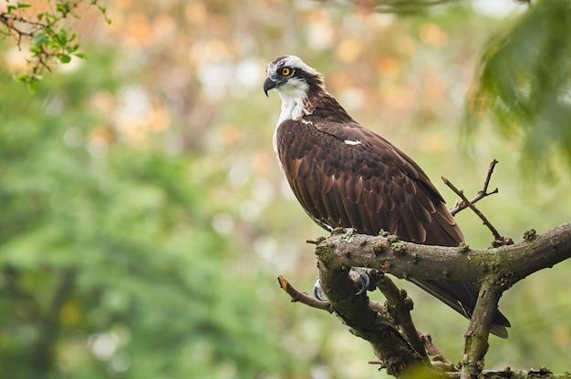Vissende adelaar die vreedzaam op een boom rust