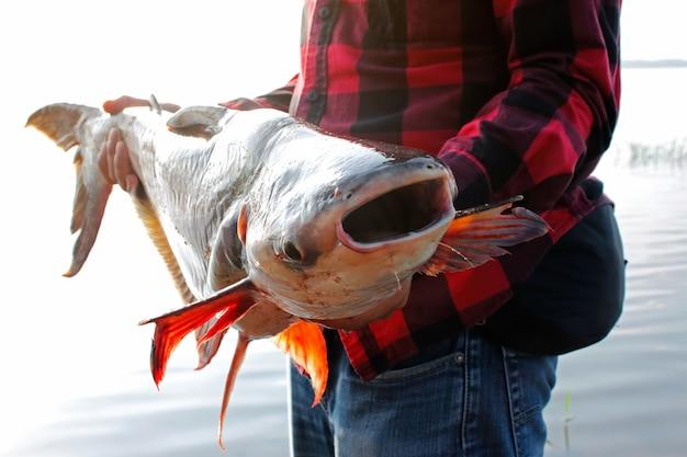 Visser die een grote gestreepte meerval houdt