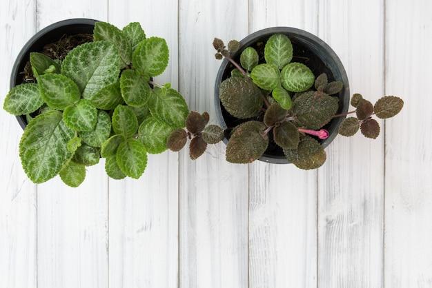 Vlakke lat van vlam violet bloempot groene plant op witte houten tafel, bovenaanzicht