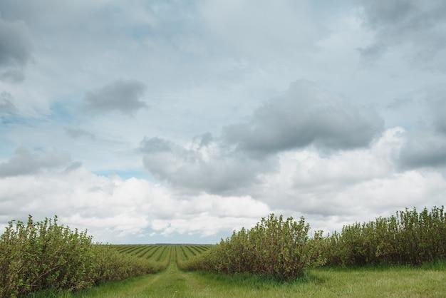 Vlakke lijnen van aalbessenplantage, natuurlijke fruitproducten
