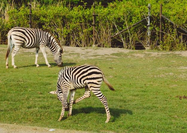 Vlaktes zebra (equus quagga) familie ineengedoken in de hitte van de middag
