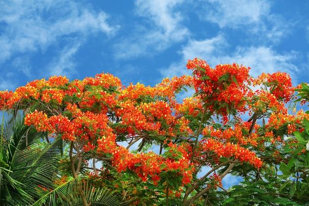 Vlamboom rode bloem die in de zomer nieuw geboren groene bladeren aan de boom bloeit