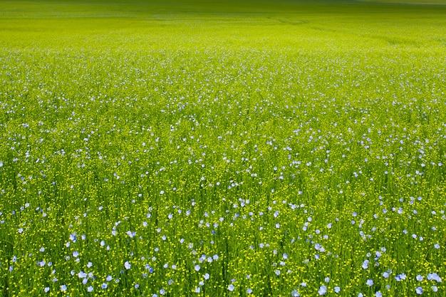 Vlasvelden in het voorjaar