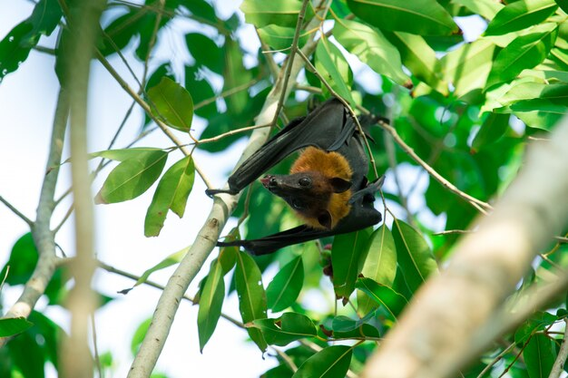 Vleermuis opknoping op een boomtak maleise vleermuis