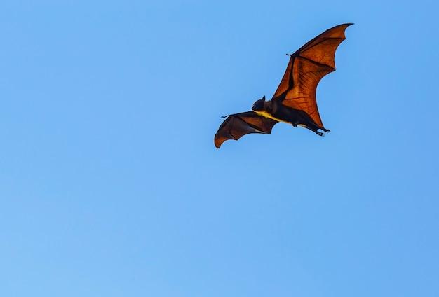 Vleermuizen vliegen