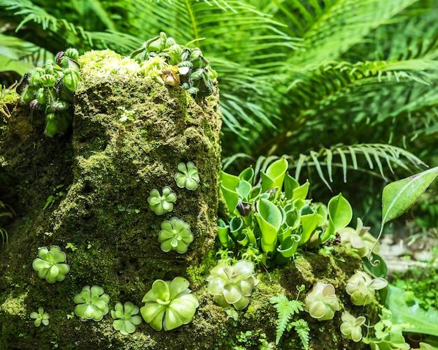 Vleesetende plant butterwort pinguicula.