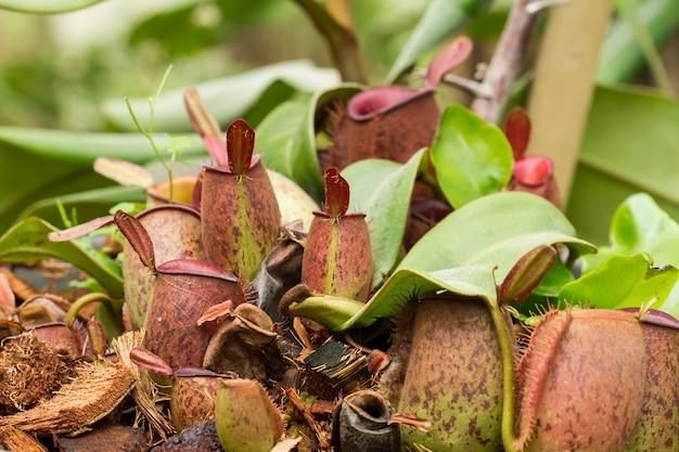 Vleesetende plant in de natuur