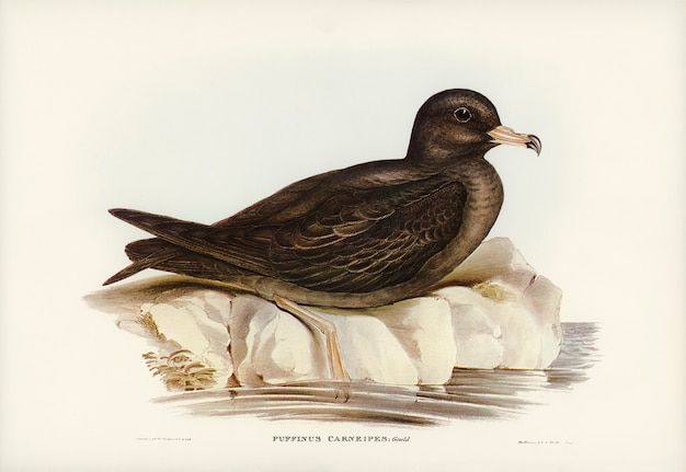 Vlezige rennende stormvogel (puffinus carneipes) geïllustreerd door elizabeth gould
