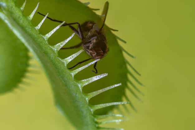 Vlieg gevangen door een roofzuchtige plant op een groene achtergrond