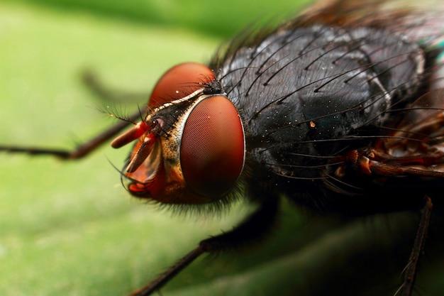 Vlieg met rode ogen, kleine insectenmacro.