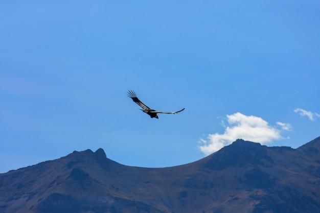 Vliegende condor in de colca-canyon, peru