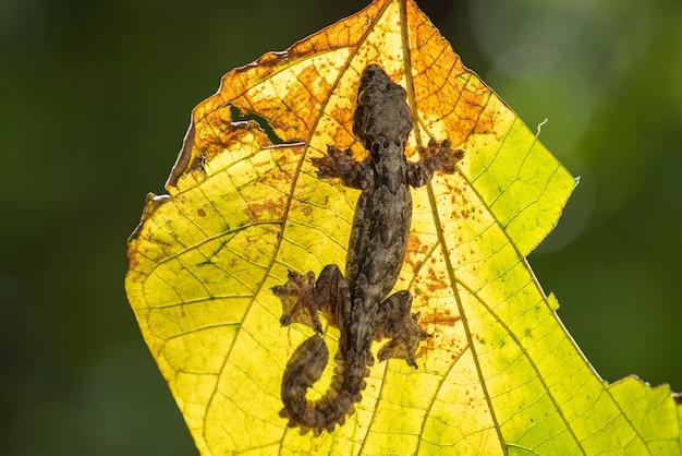 Vliegende gekko op het blad