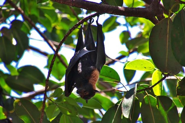 Vliegende knuppel op boom in cairns-stad