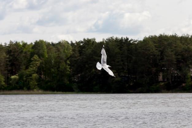 Vliegende meeuw over het meer in de zomer wilde vogel meeuw op zoek naar voedsel