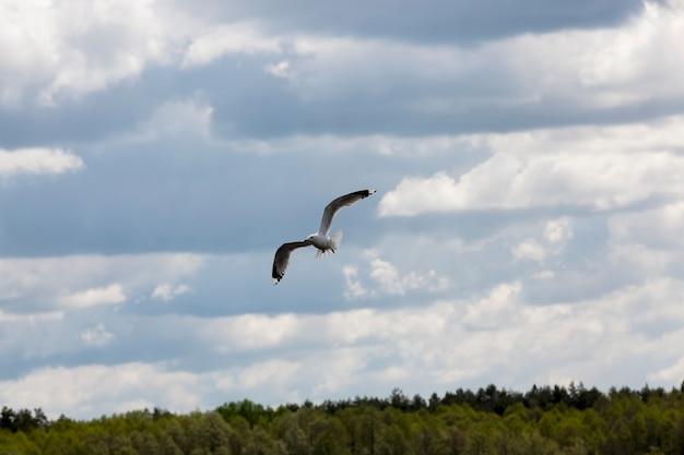 Vliegende meeuw over het meer in de zomer