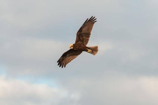 Vliegende roofvogel. bruine kiekendief. circus aeruginosus.