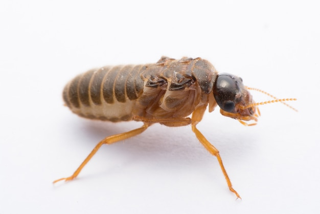 Vliegende termiet of alates geïsoleerd op wit