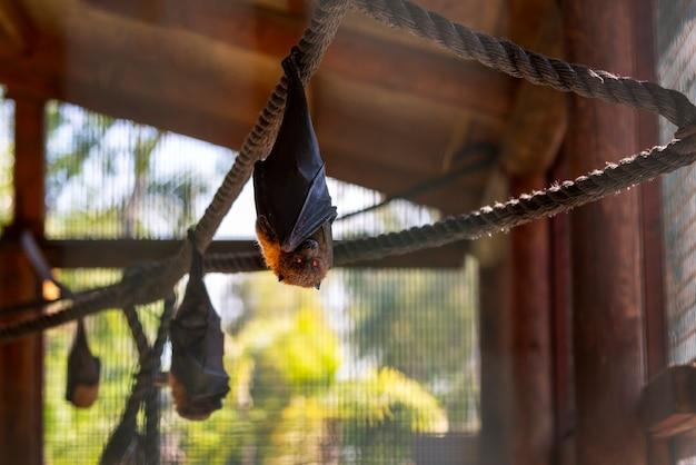 Vliegende vleermuizen ondersteboven in een kooi achter glas, ter bescherming van dieren. portret van kleine flying fox hangend aan touw en kijk camera, zit op slot achter glas. vleermuis is de drager van het coronavirus. vampier vleermuis