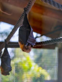Vliegende vleermuizen ondersteboven in een kooi achter glas, ter bescherming van dieren. verticale foto van vampire flying fox die aan touw hangt en camera kijkt, zit op slot achter glas. vleermuis is de drager van het coronavirus