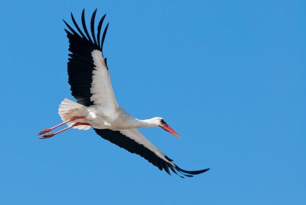 Vliegende witte ooievaar in blauwe hemel